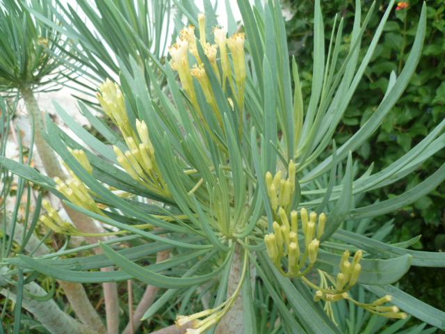 Kleinia neriifolia (= Senecio kleinia) - Page 3 P1110133