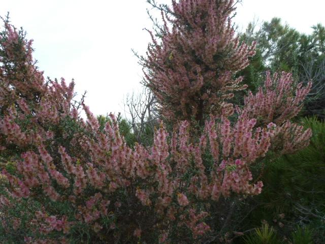 Arisarum vulgare et Salsola oppositifolia [Identifications] P1110138