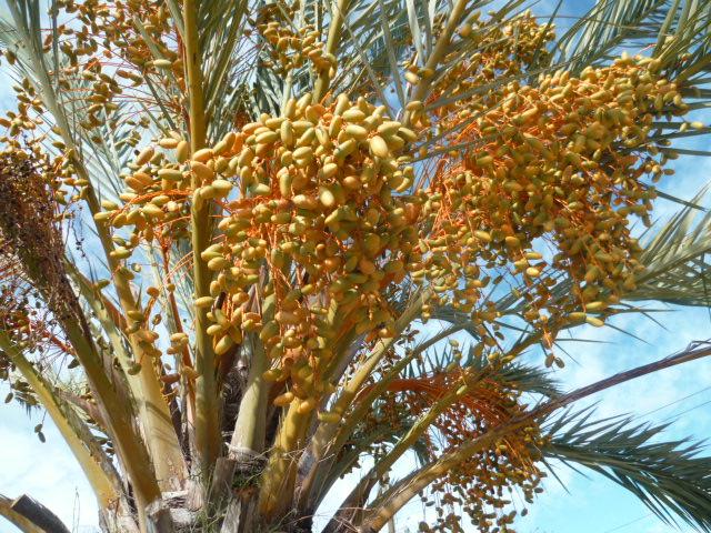 Phoenix dactylifera - palmier dattier - Page 2 P1110148