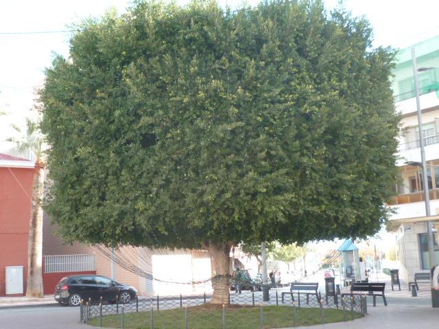 Ficus benjamina P1110310