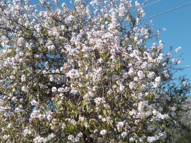 Prunus dulcis - amandier P1110350