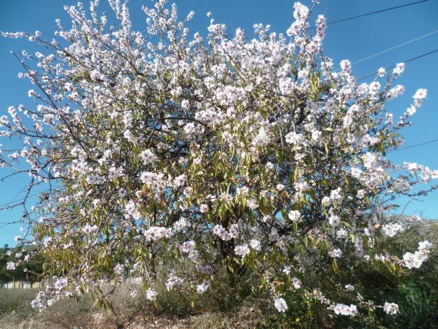 Prunus dulcis - amandier P1110351