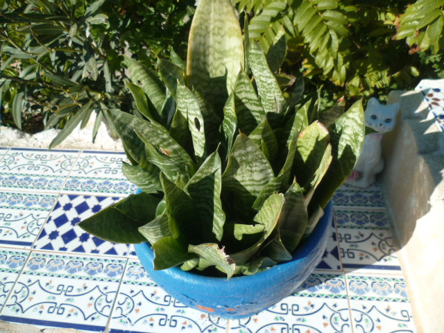 Sansevieria trifasciata 'Moonshine' P1110360