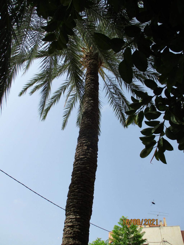 Phoenix dactylifera - palmier dattier - Page 3 Palmie14