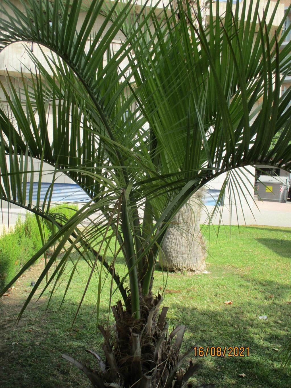 Identification palmier Palmie15
