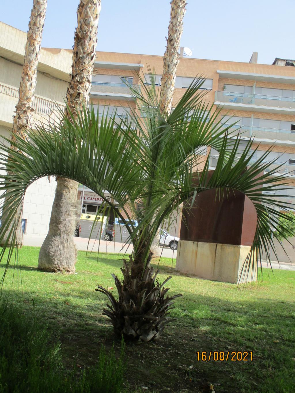 Identification palmier Palmie16