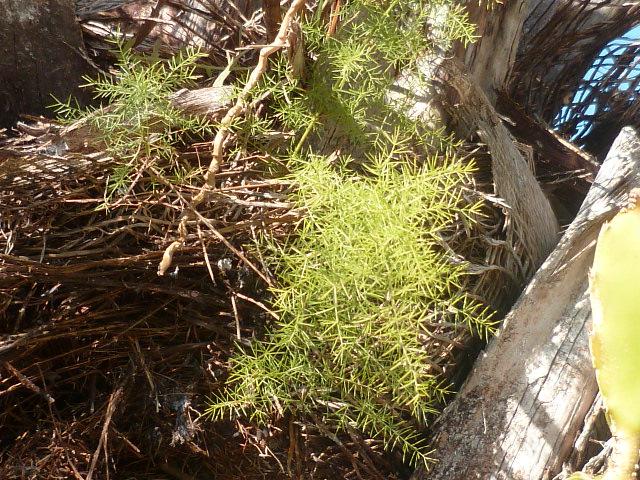 Chlorophytum comosum  - Page 3 Pamier10