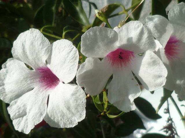 Pandorea jasminoides et Pandorea pandorana Pandor12