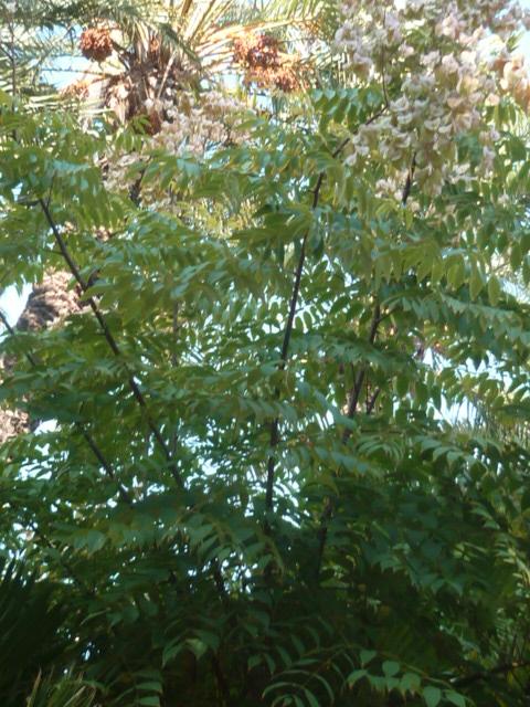 Identification = Koelreuteria elegans Parc_111
