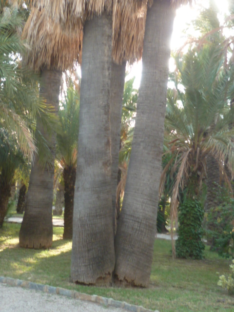 (Espagne) Palmeraie d'Alicante Parc_125