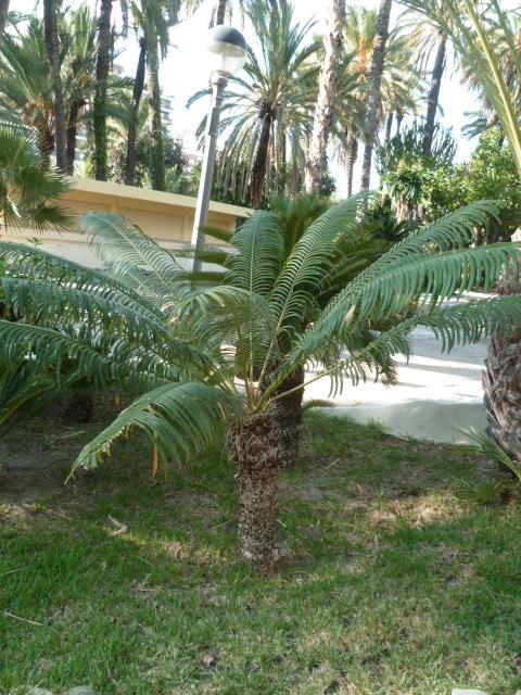 (Espagne) Palmeraie d'Alicante Parc_128
