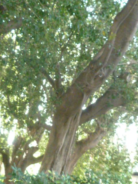(Espagne) Palmeraie d'Alicante Parc_141
