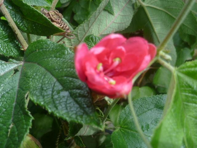 Passiflora 'Amethyst' et P. 'Coral Glow' [identifications non confirmées] Passif11