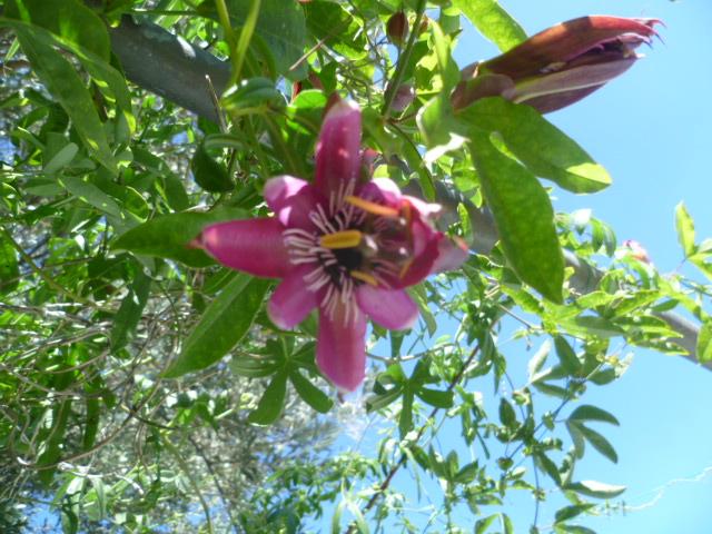 Passiflora - questions et conseils de culture - Page 6 Passif21