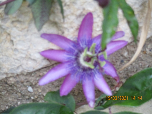 Passiflora amethystina Passif31