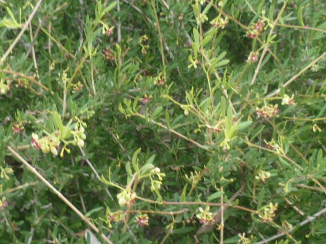 Periploca laevigata subsp. angustifolia Peiplo10