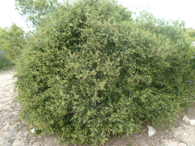 Periploca laevigata subsp. angustifolia Peripl11