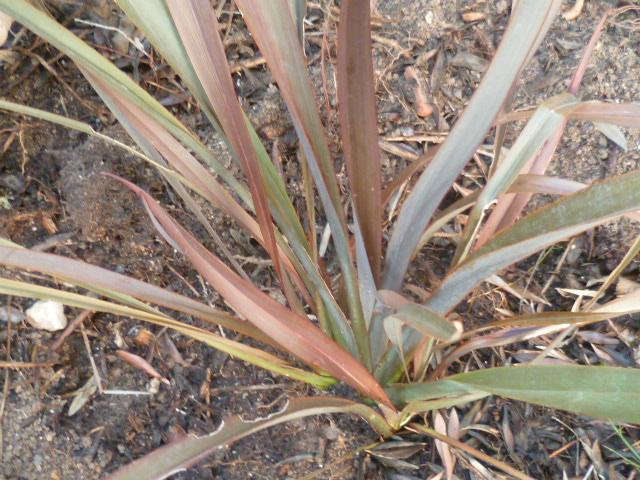 Phormium tenax purpureum - Page 3 Phormi10
