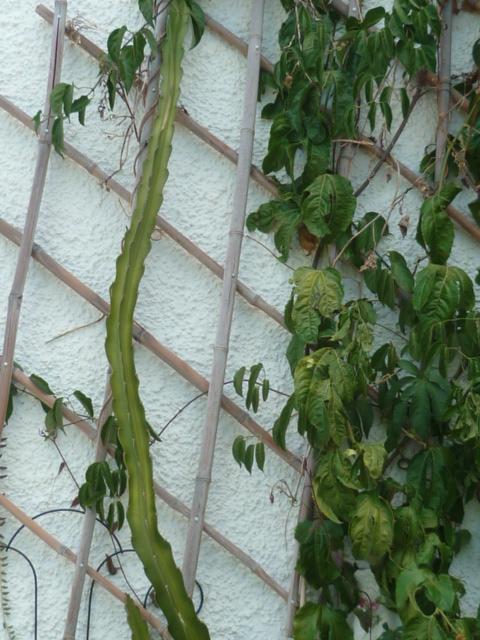 hylocereus - Hylocereus undatus - pitaya - Page 2 Pitaya13