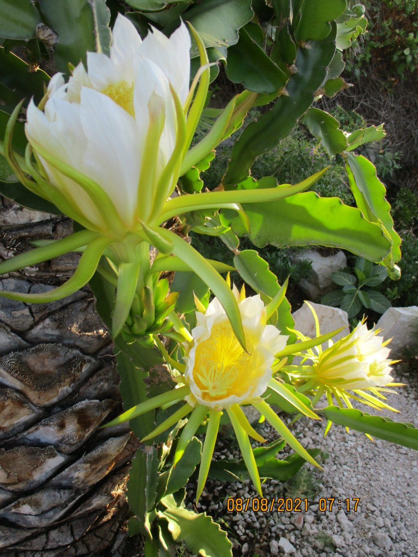 Hylocereus undatus - pitaya - Page 3 Pitaya34