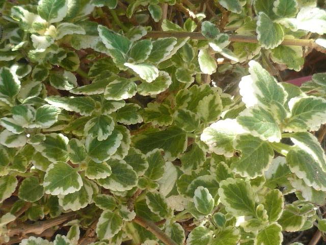 Plectranthus glabratus (= Plectranthus coleoides) Plectr10