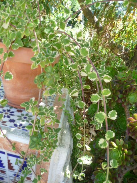 Plectranthus glabratus (= Plectranthus coleoides) Plectr12