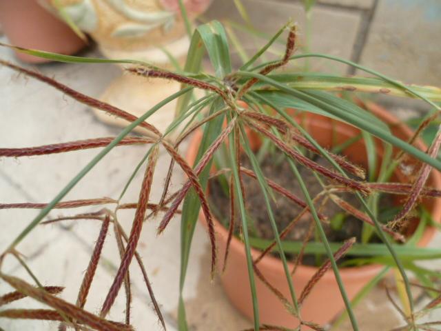 Cyperus longus ? [Identification en cours] Plectr16