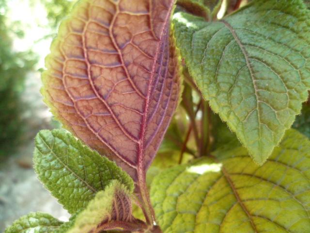 Plectranthus ciliatus - [identification] Plumer13