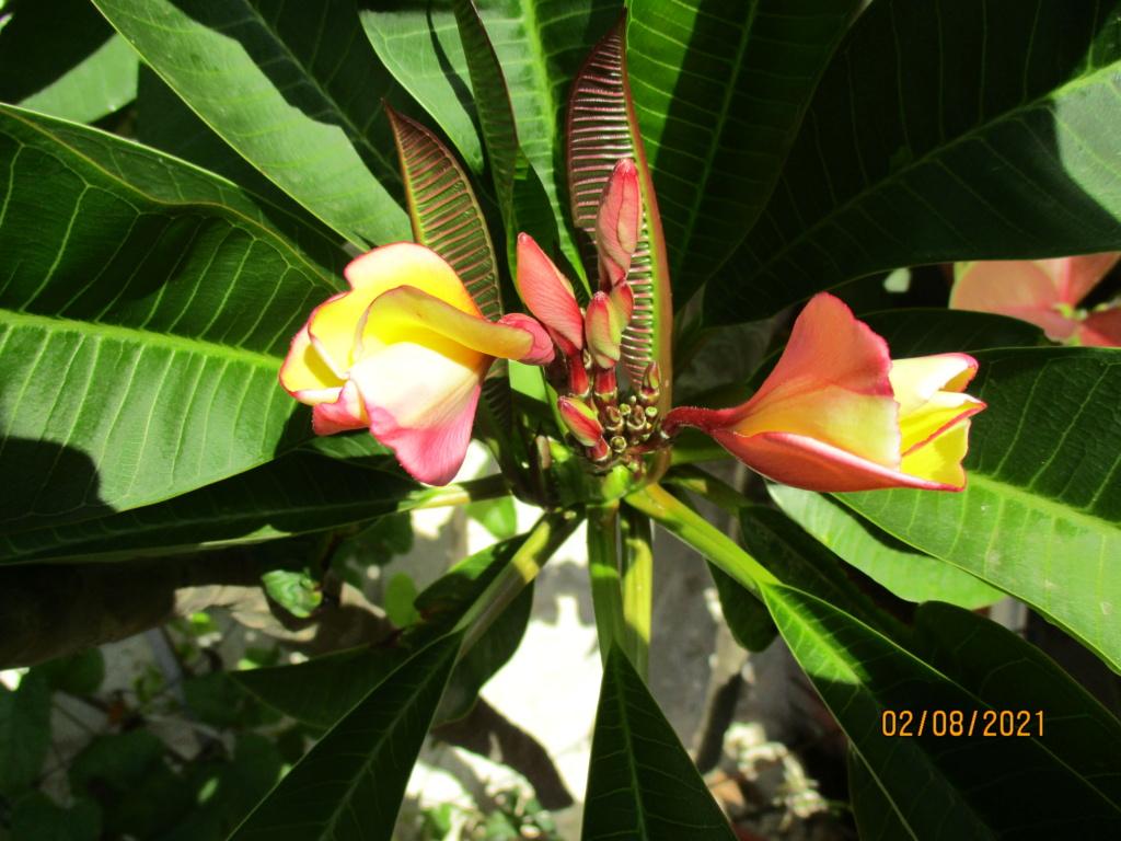 Plumeria - frangipanier - Page 20 Plumer18