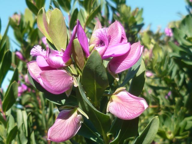 Polygala myrtifolia Polyga11