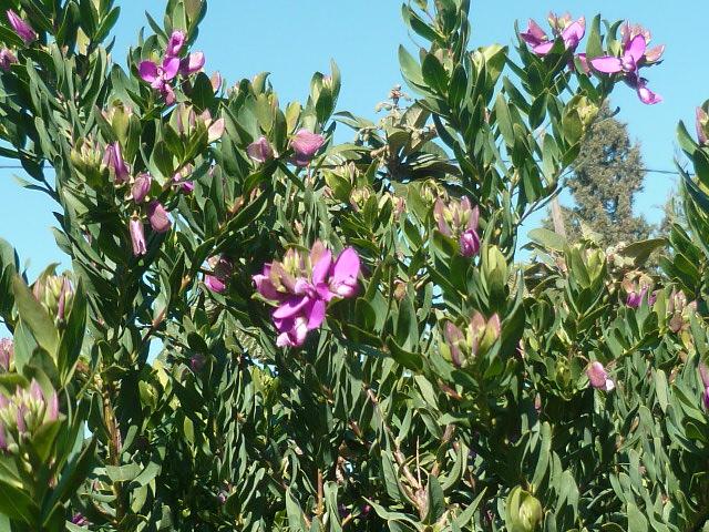 Polygala myrtifolia Polyga12