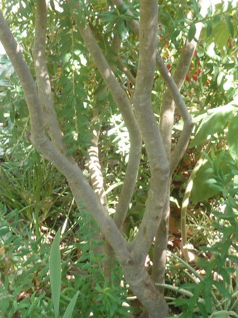 Polygala myrtifolia - Page 2 Polyga14