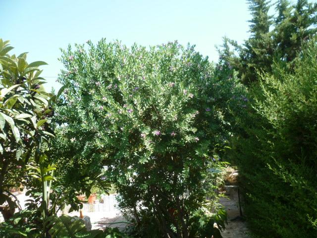 Polygala myrtifolia - Page 2 Polyga15