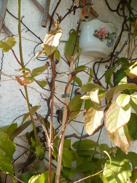 Combretum indicum (= Quisqualis indica) Quisqu11