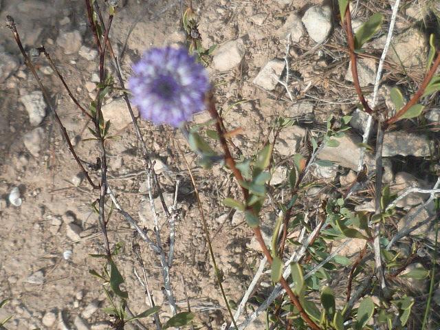 Globularia alypum - globulaire alypon Raco_014