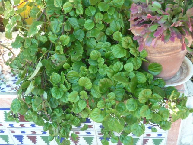 plectranthus ver - Plectranthus verticillatus Rhipsa13