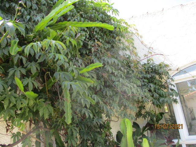 Merremia tuberosa - liane de Gandelour Rose_d10