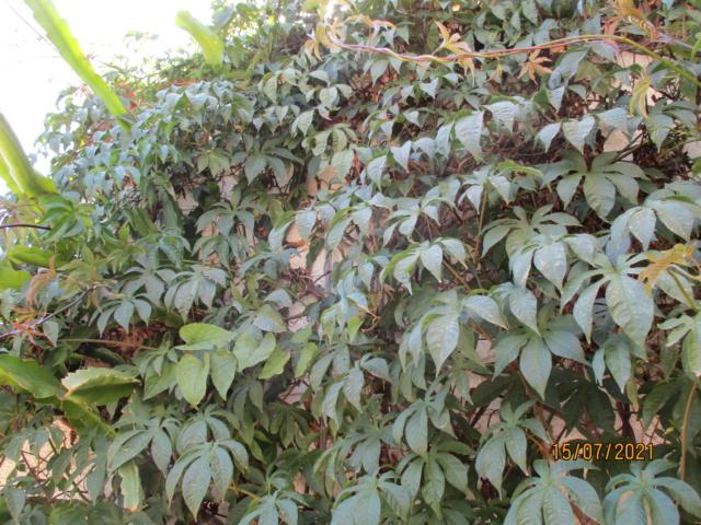 Merremia tuberosa - liane de Gandelour Rose_d11