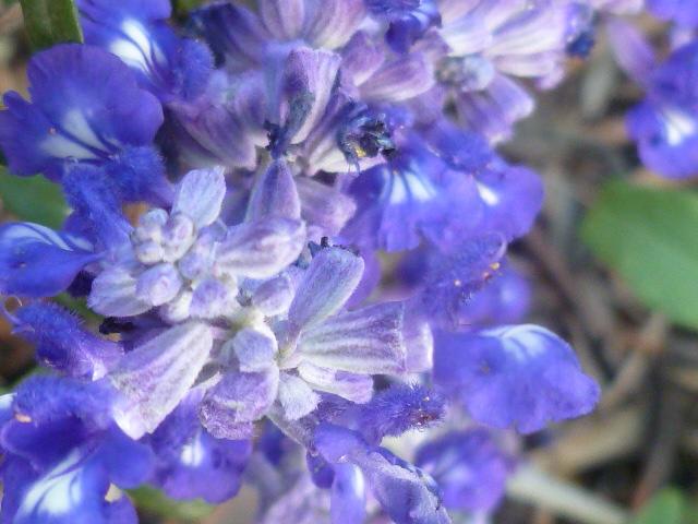 Salvia à identifier - Salvia farinacea [Identification] Salvia10