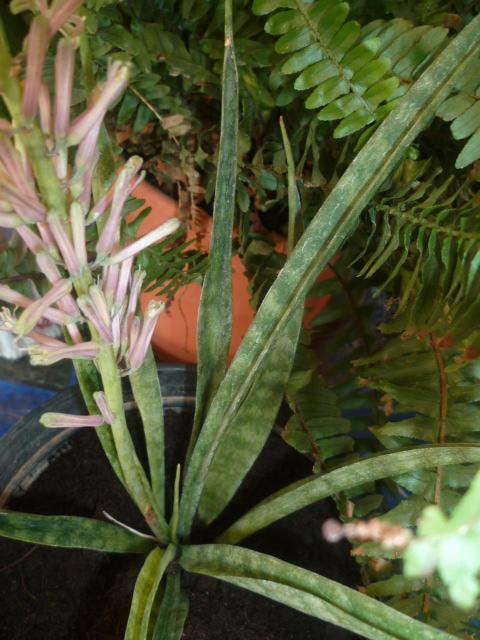 Sansevieria hyacinthoides ? Sansev13