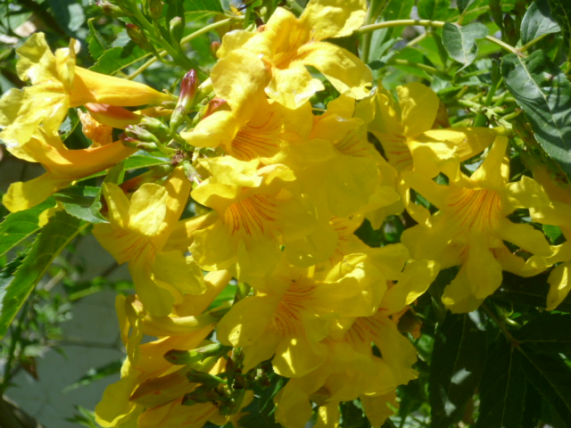 Tabebuia rosea & Handroanthus chrysanthus (= Tabebuia chrysantha) Semain25