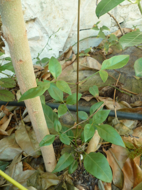 Pandorea jasminoides et Pandorea pandorana Semis_10