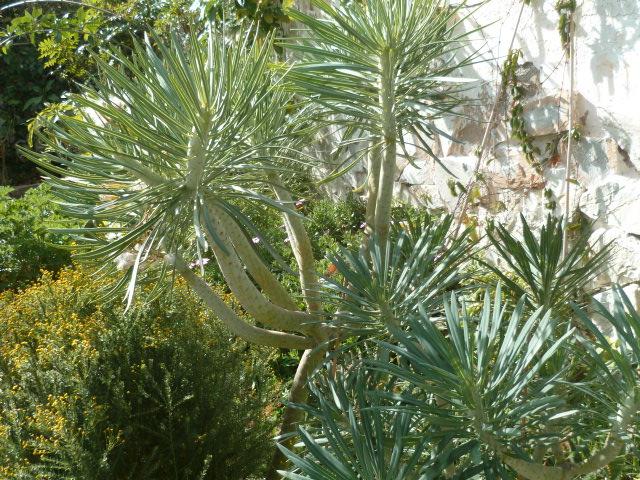 Kleinia neriifolia (= Senecio kleinia) - Page 3 Seneci10