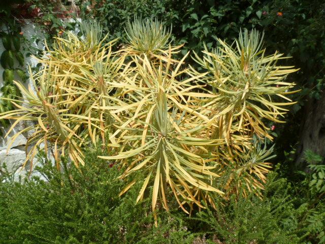 Kleinia neriifolia (= Senecio kleinia) - Page 3 Seneci15