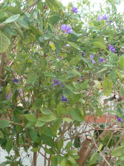 Solanum rantonnetii - Page 2 Seneci20