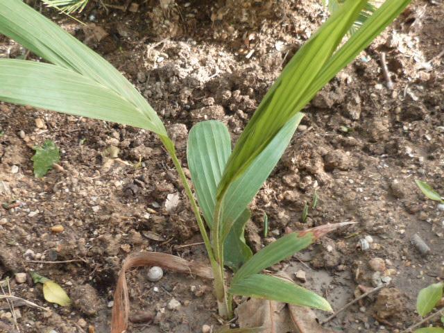 Syagrus romanzoffiana - palmier reine - Page 2 Syagru13