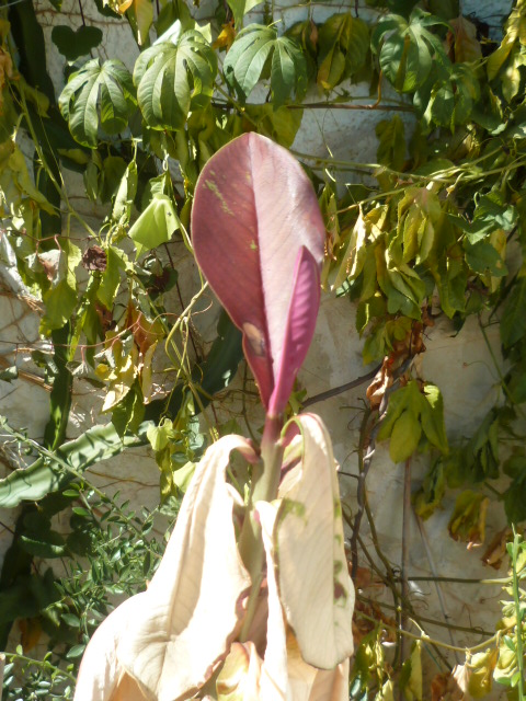 Euphorbia umbellata (= Synadenium umbellatum) - Page 2 Synade10