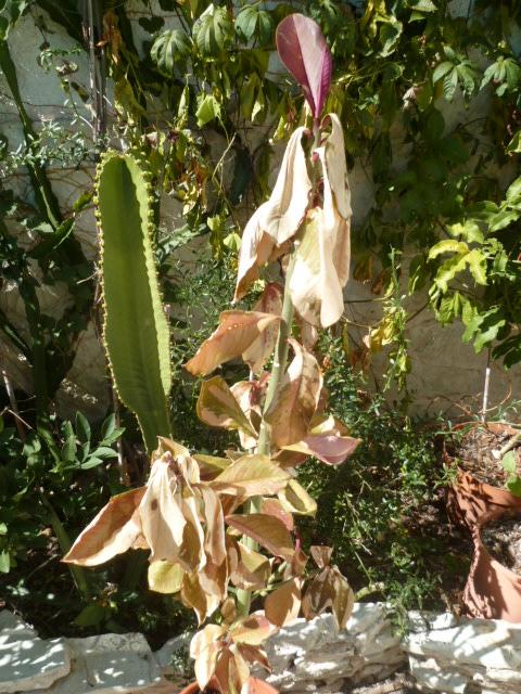 Euphorbia umbellata (= Synadenium umbellatum) - Page 2 Synade11