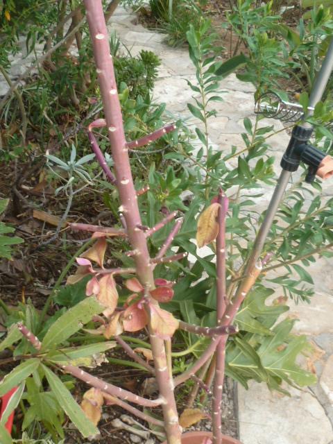 Euphorbia umbellata (= Synadenium umbellatum) - Page 3 Synade12