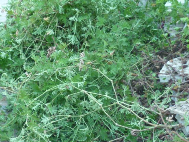 Pelargonium sp. (non crispum) Taille11